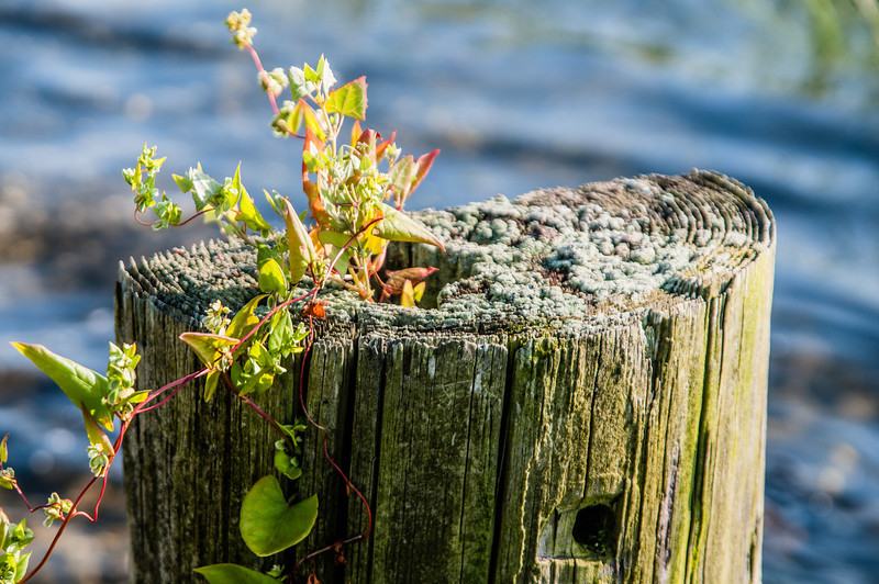 Old pier piling with new growth. Walker's Cove, Bristol, RI