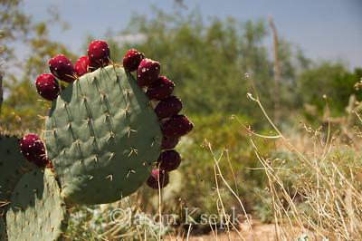 Cactus; Pima County, Sonoran Desert Museum, Tucson, Arizona 7-31-08 2