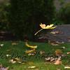 Falling_Leaf-171