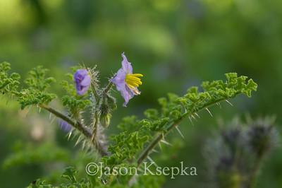 Solanum heterodoxum, Melonleaf Nightshade; Sonora, Mexico 8-16-08 2