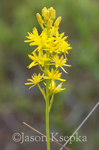 Narthecium americanum, Bog Asphodel; Burlington County, Martha, New Jersey  2012-06-19  #3