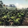 Tobacco Field Postcard (05074)