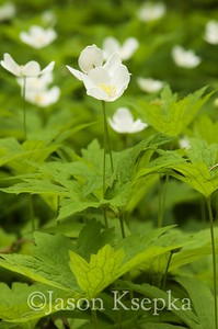 Anemone canadensis, Canada Anemone; Bucks County, Pennsylvania 2015-06-04   2