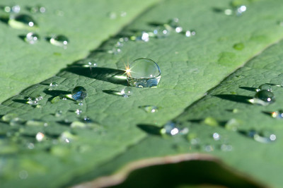 We liked the way the sun hit the water droplets on this Lindera leaf