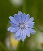Blue Roadside Flower - Cedar Bay Michigan - July 2008