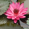 BB-000042.dng - Water Lily, Codrington College, St John Parish, Barbados