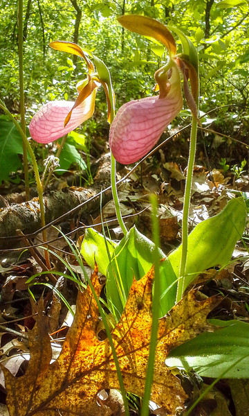 Two Pink Lady's Slippers