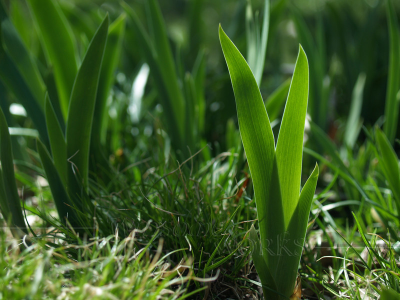 Iris leaves, Back-lit