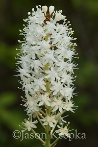 Amianthium muscaetoxicum, Fly Poison; Burlington County, New Jersey 2014-06-05   1