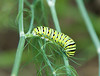 Worm on the Dill - Milford Iowa - August 2008