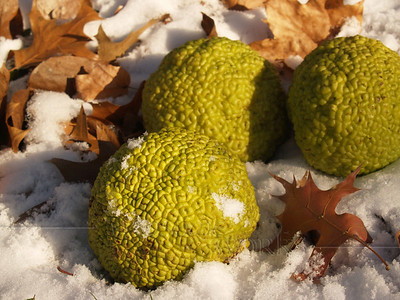 Fruits from an osage orange tree