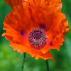 Oriental Poppy (Papaver Orientale) Hierloom flower, Colonial Garden, Colonial Williamsburg, Virginia