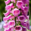 Foxglove (Digitalis), Colonial Williamsburg, Virginia