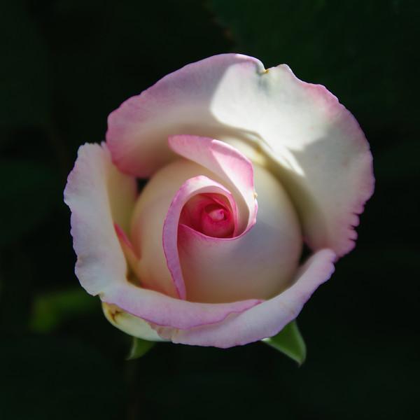 Rose Blossom, Mable Ringling Rose Garden, Ringling Museum, Sarasota, Florida