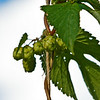 Gathering Brews Hops-6492