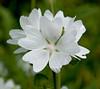White roadside flower - Cedar Bay Michigan - July 2008