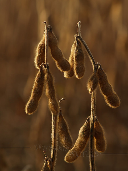 Closeup of Soybeans (Edamame) drying in field, October-- PA