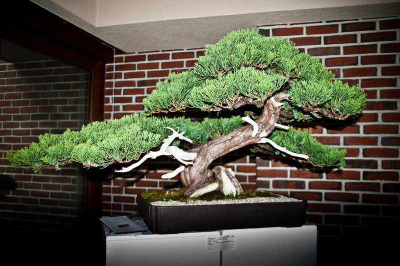 Very old and lovely Juniper Bonsai. by Bonsai Society show at Towerhill Botanical