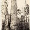 Poplar Tree (00095)