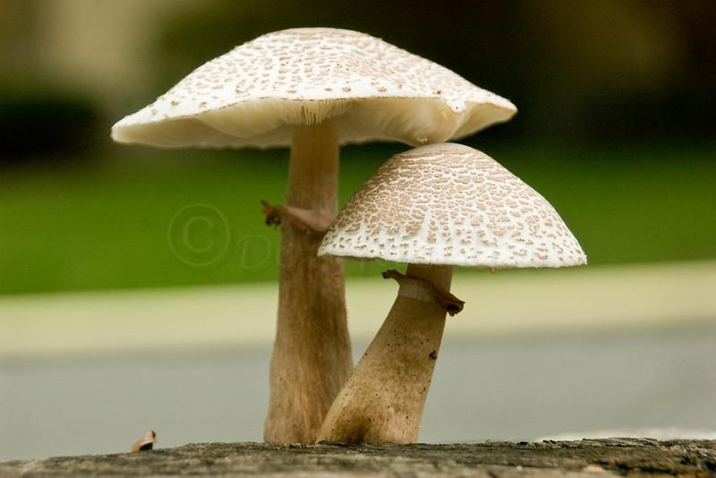 Stump Fungi I