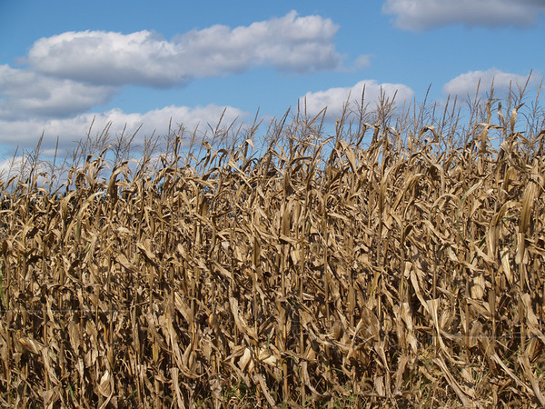Field Corn in Autumn, with Cumulus Clouds