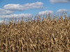Field Corn in Autumn, with Cumulus Clouds