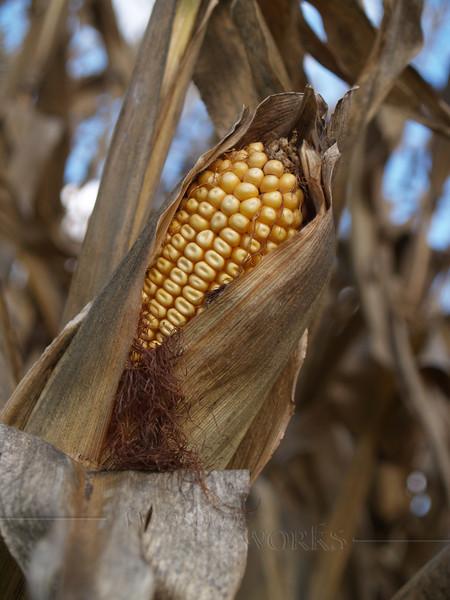 Field Corn Drying in Husk, Pennsylvania
