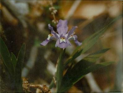 Iris (00088)