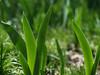 Back-lit Iris foliage