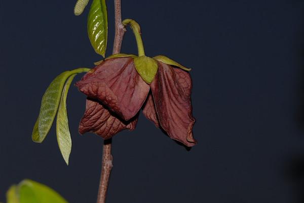 Asimina triloba flower