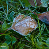 Frosted Grass
