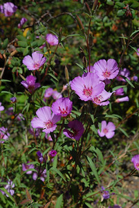 © Joseph Dougherty. All rights reserved.  Clarkia amoena (Lehm.) A.Nels. & J.F.Macbr Fairwell to Spring  aka Godetia  Native to western North America, found in coastal hills and mountains from British Columbia south to the San Francisco Bay Area.  It is an annual plant growing to 1 m tall, with slender, linear leaves 2–7 cm long and 2–6 mm broad. The flowers are pink to pale purple, with four broad petals 1.5–6 cm long. The fruit is a dry capsule, which splits open when mature to release the numerous seeds.