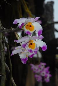 Dendrobium bensoniae (?)