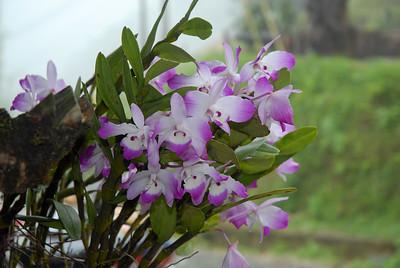 Dendrobium nobile x bensoniae (?) possible natural hybrid