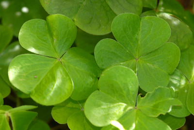 The leaves of Oxalis oregana were eaten by Native Americans, probably in small quantities, since they contain mildly toxic oxalic acid, whence the genus name.