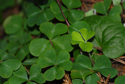 Redwood sorrel, Oxalis oregana, photosynthesises at relatively low levels of ambient light (1/200th of full sunlight). When direct sunlight strikes the leaves they fold downwards; when shade returns, the leaves reopen. Taking only a few minutes, this movement is observable to the eye.