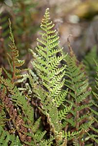 Cheilanthes clevelandii D.C. Eaton