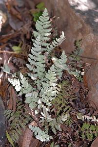 Cheilanthes parryi (D.C. Eaton) Domin
