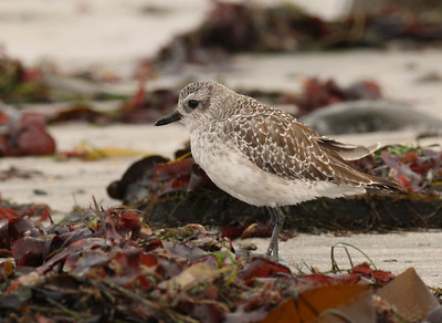 Black Bellied Plover (Winter Plumage)