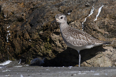 Juvenille Black bellied Plover
