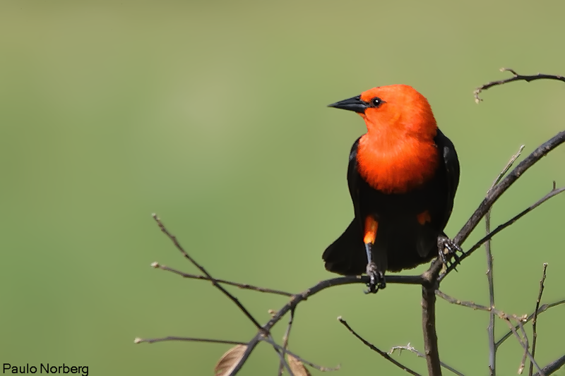 Amblyramphus holosericeus<br /> Cardeal-do-banhado<br /> Scarlet-headed Blackbird<br /> Federal - Guyraû pytâ