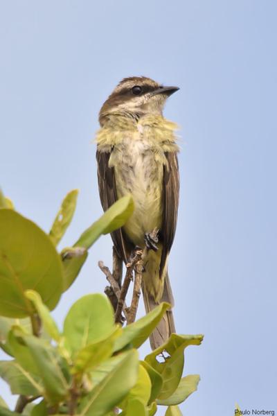 Legatus leucophaius<br /> Bem-te-vi-pirata<br /> Piratic Flycatcher<br /> Tuquito chico - Eichuja'i
