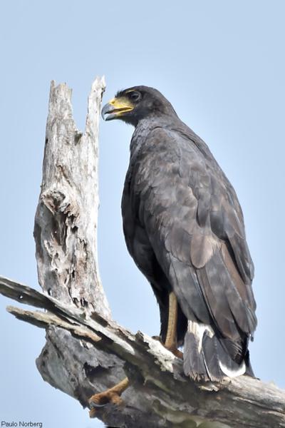Urubitinga urubitinga<br /> Gavião-preto<br /> Great Black-Hawk<br /> Águila negra - Yryvutinga