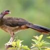 Ortalis canicollis<br /> Aracuã-do-pantanal<br /> Chaco Chachalaca<br /> Charata - Jaku karaguata