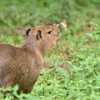 Hydrochoerus hydrochaeris<br /> Capivara<br /> Capibara<br /> Carpincho - kapiÿva