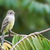 Sublegatus modestus<br /> Guaracava-modesta<br /> Southern Scrub-Flycatcher<br /> Suirirí pico corto - Suiriri