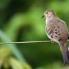 Uropelia campestris<br /> Rolinha-vaqueira<br /> Long-tailed Ground-Dove<br /> Columbina colilarga