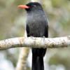 Monasa nigrifrons<br /> Chora-chuva-preto<br /> Black-fronted Nunbird<br /> Monja unicolor