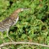 Tigrisoma lineatum<br /> Socó-boi imaturo<br /> Rufescent Tiger-Heron immature<br /> Hocó colorado - Hoko pytâ