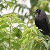 Molothrus oryzivorus<br /> Iraúna-grande<br /> Giant Cowbird<br /> Tordo gigante - Guyraû guasu
